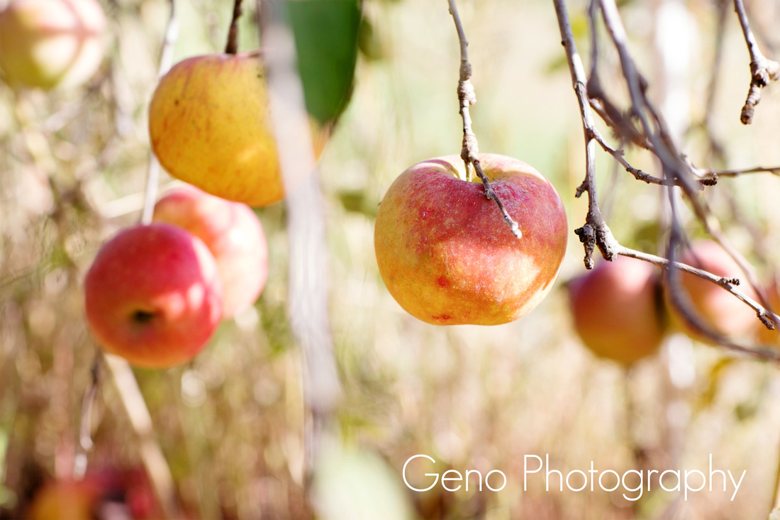Apples at Rapid Creek Cidery